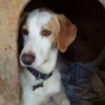 Biscotto, cane taglia grande - oipa pistoia