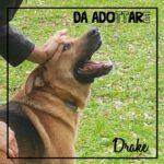 Drake- adozione cani pistoia
