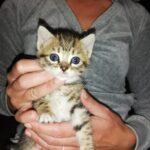Astrid - gattina femmina